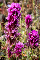 Typical Purple Owl's-Clover @ Table Mountain