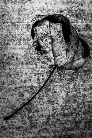 003•366 • 03 January 2016 • dry leaf on concrete