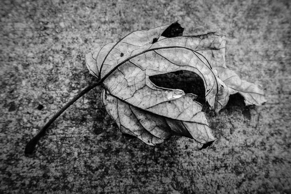 008•366 • 08 January 2016 • dry leaf on concrete v2.0