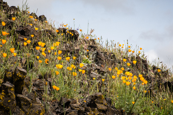 Foothill Poppy  @ Table Mountain